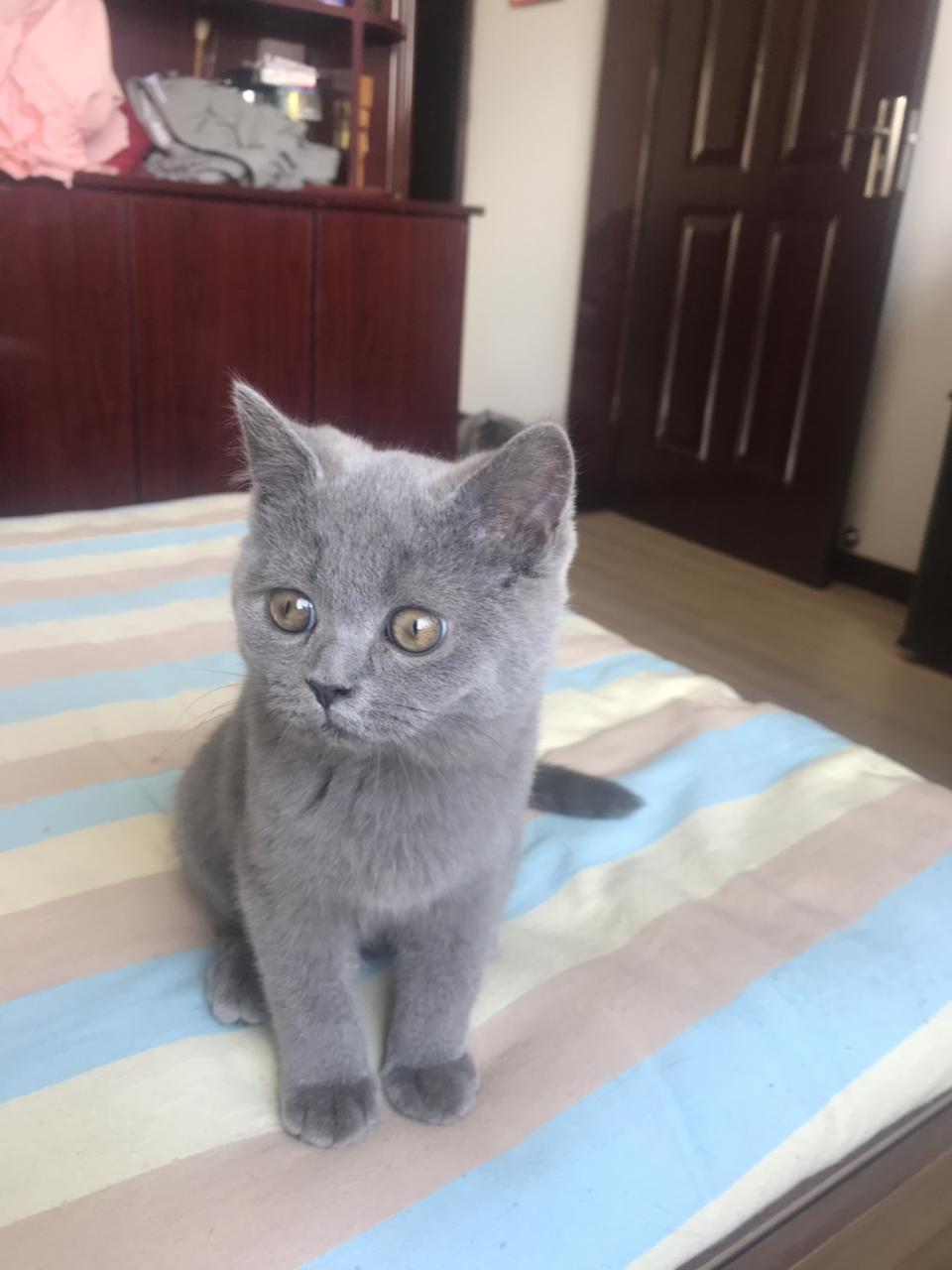 同城出售英短幼猫。