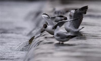 青海湖迎来湟鱼洄游季